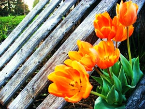 Organic Flowers - Orange Tulips