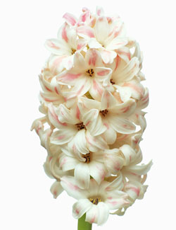 Hyacinth Wedding Flowers - Hyacinthus Orientalis