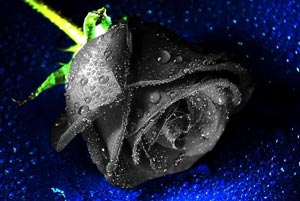Black Rose flower - Halloween
