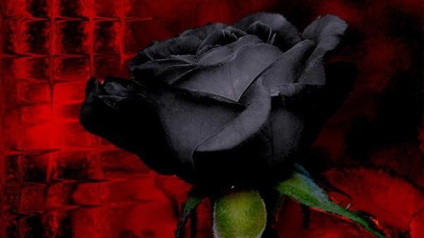 Black Flowers - Dyed Black Rose