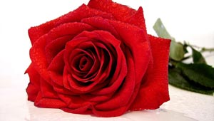 A Red Rose Is Traditional for Valentine's Day