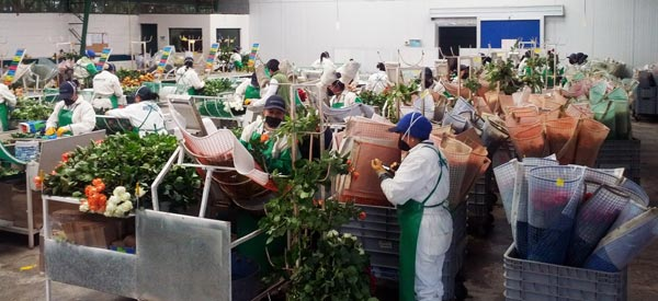 Fresh Cut Roses Being Processed on Farm