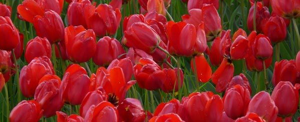 Many Women Prefer Red Tulips to Red Roses