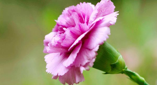 Pink Carnation for Mother's Day