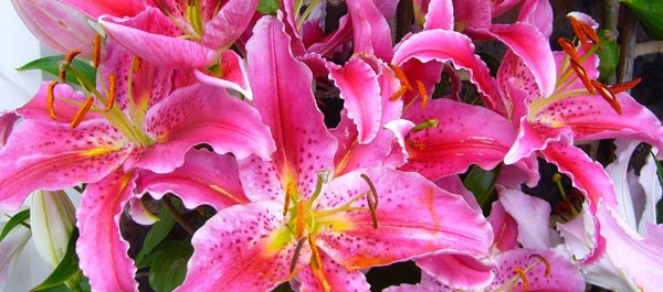 Stargazer Lilies Are Loved for Their Fragrance
