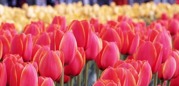 Valentines Roses May Make Her Swoon, but Tulips Can for Less