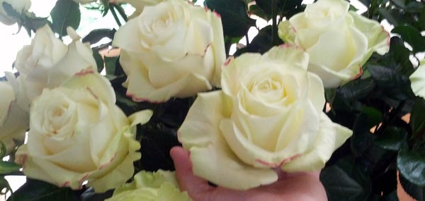 White Roses With Huge Blooms